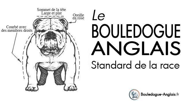 Standard Bulldog Anglais